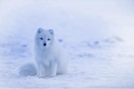 从#十万只极狐等您来领养#说起,ARCFOX为何定名极狐?