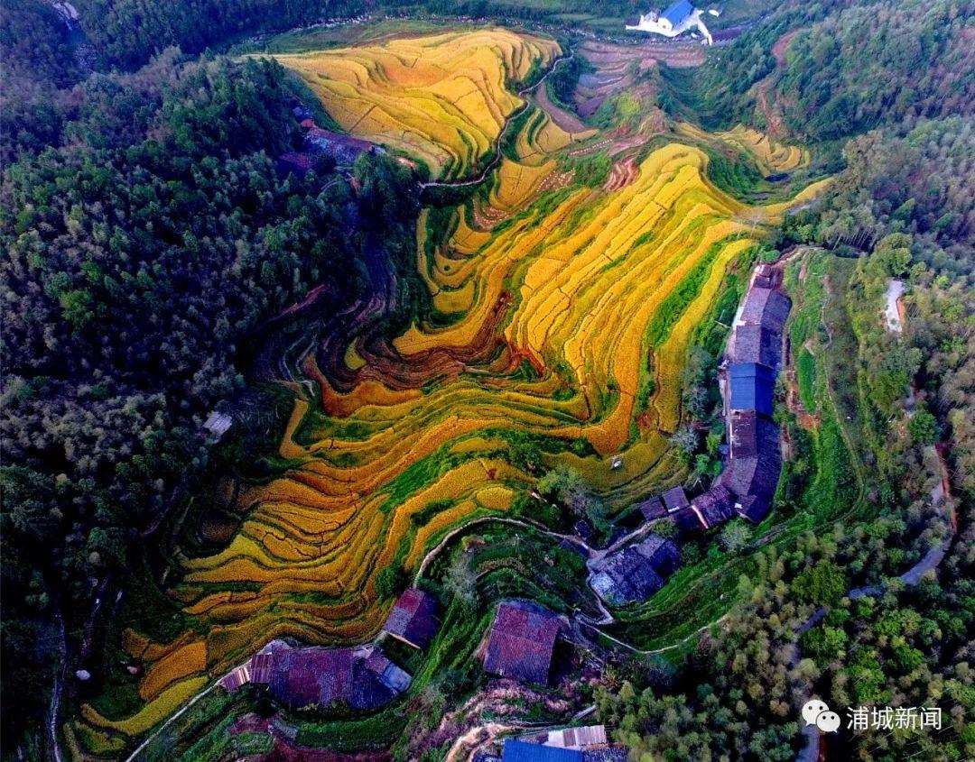 浦城这里有不需滤镜的黄金稻