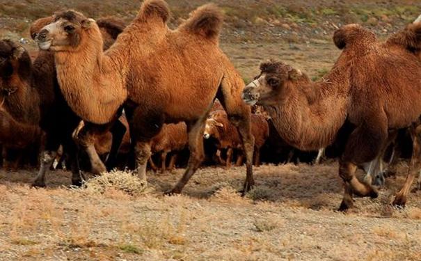 駱駝奶粉的功效到底如何?消費者現身說法
