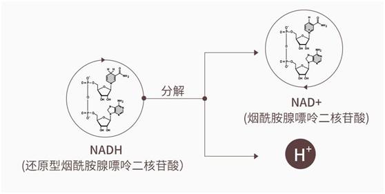 从赛立复NMN到赛立复NADH,突破的技术有哪些?