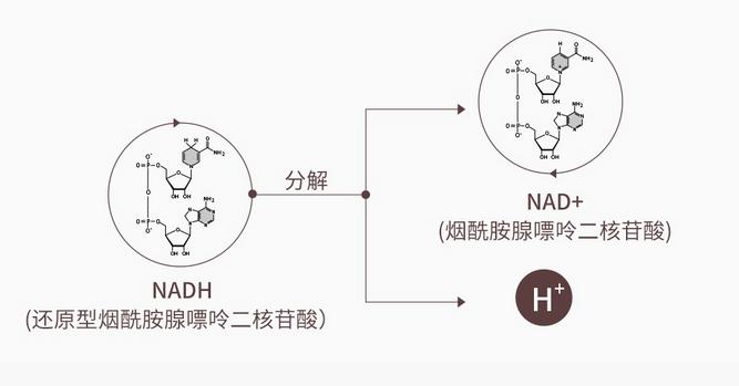 赛立复力活元NADH为什么叫线粒体素?首先知道线粒体是什么!
