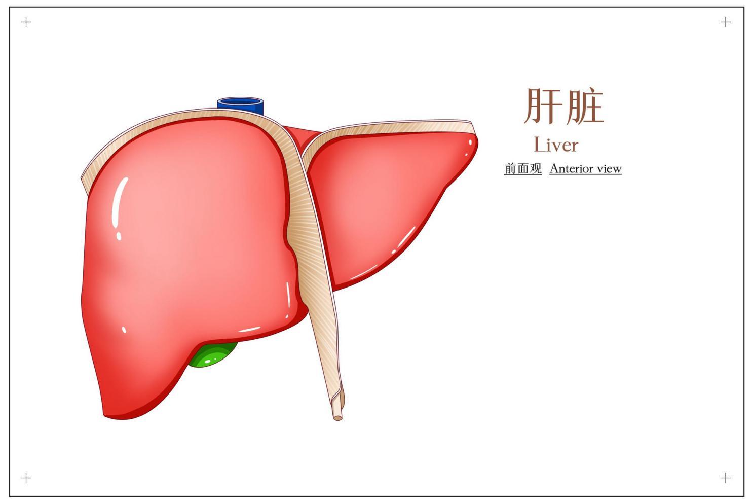 摄图网_401789417_banner_肝脏前面观医疗插画(非企业商用)