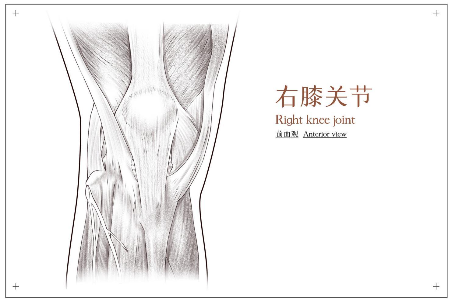 摄图网_401789966_banner_右膝关节前面观医疗插画(非企业商用)