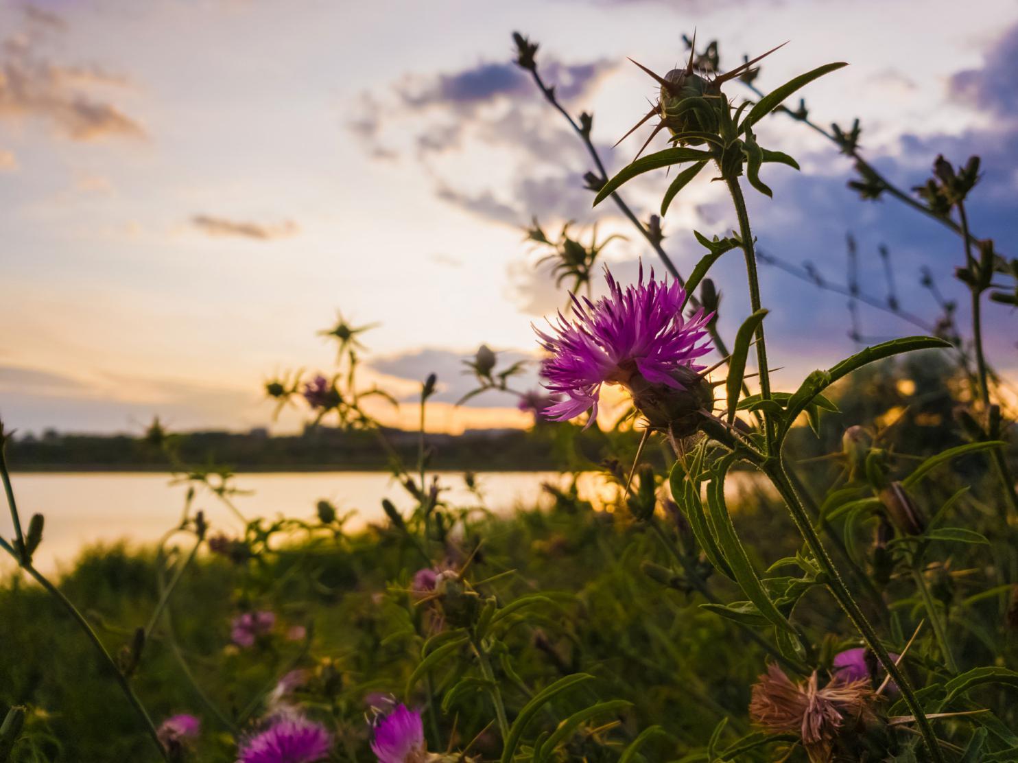 摄图网_300082639_banner_日落的天空背景上绽放着蓟花的刺状紫色植物的灌木丛(非企业商用)