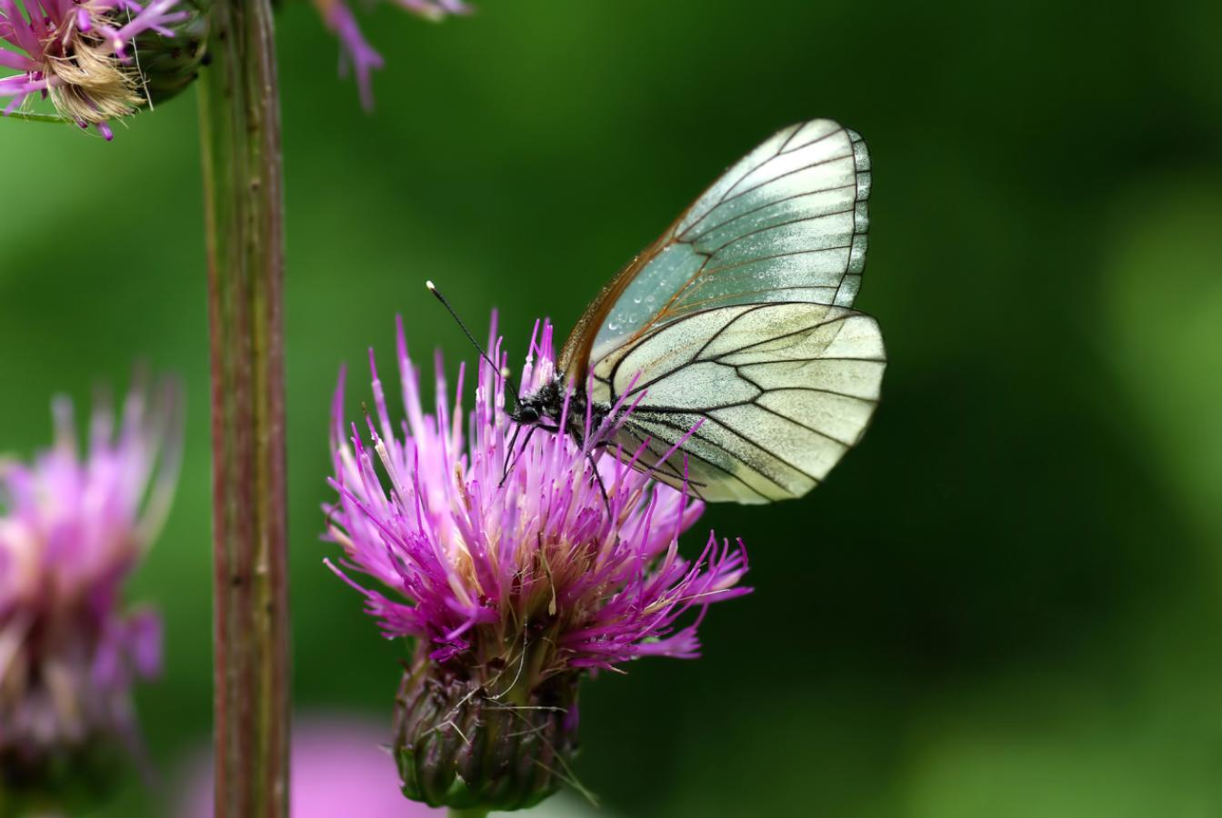 摄图网_306943744_粉红色花朵上的黑黄白蝴蝶Aporiacraataegi(非企业商用)